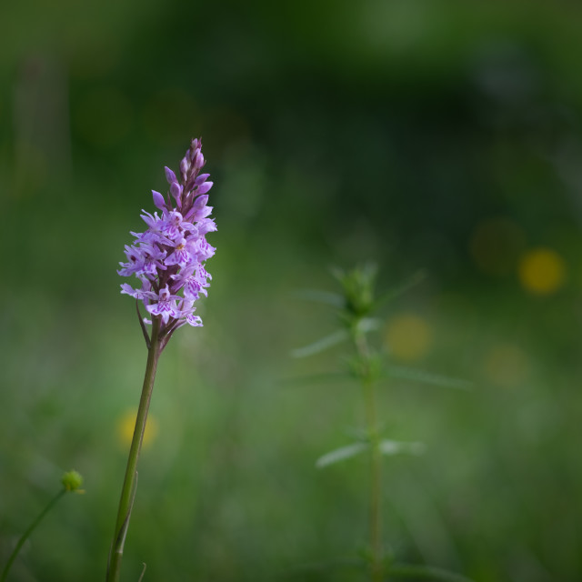 """""""common orchid"""" stock image"""