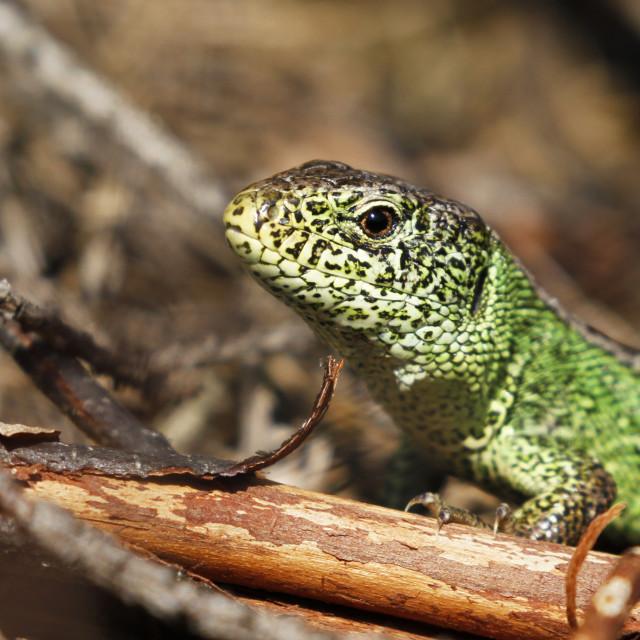 """Male sand lizard"" stock image"