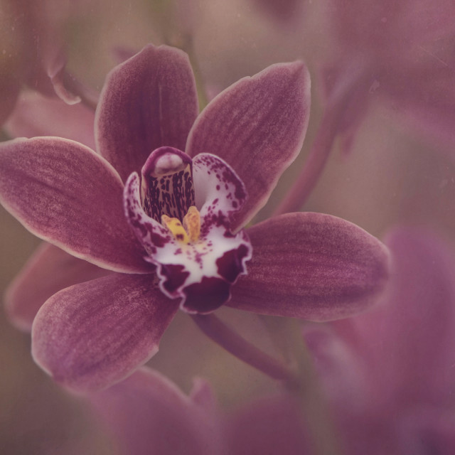 """""""The Orchid"""" stock image"""