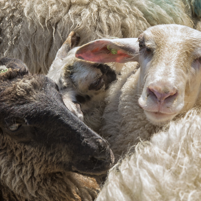 """Sheep in close up"" stock image"