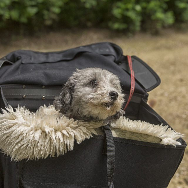 """""""Transporting a dog"""" stock image"""