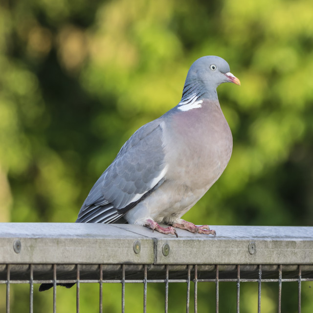 """Wood Pigeon on a Fence"" stock image"