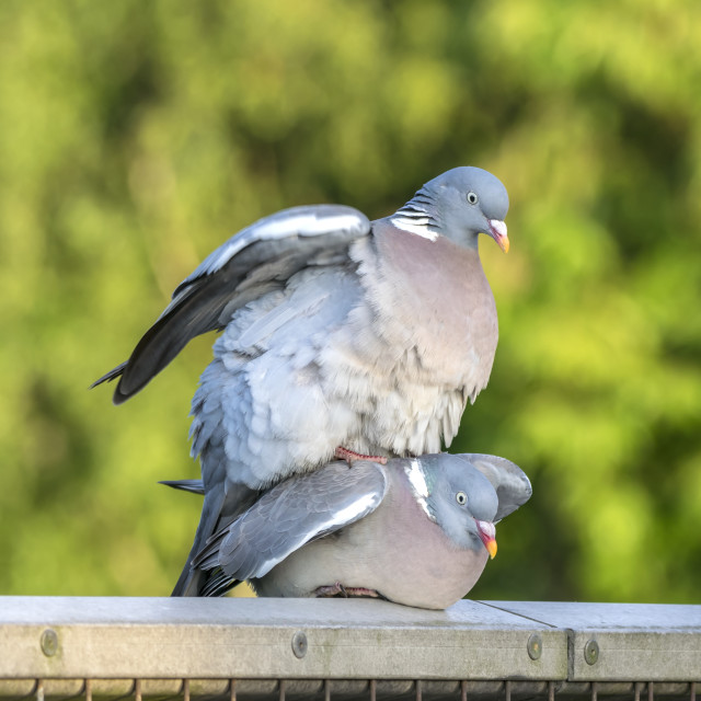 """A Pair of Pigeons Mating"" stock image"