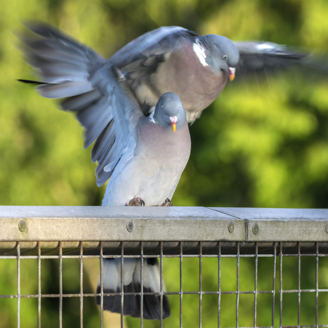 """Two Wood Pigeons Mating"" stock image"