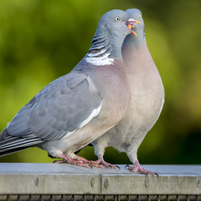 """A Pair of Courting Wood Pigeons"" stock image"