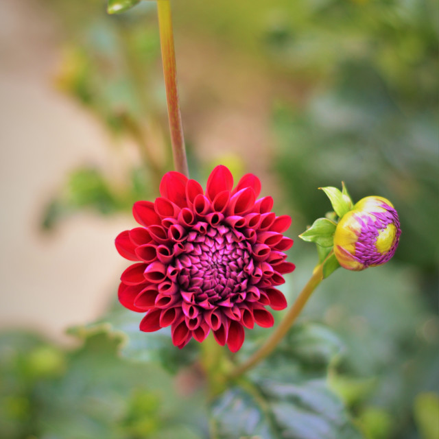 """Red Dahlia"" stock image"
