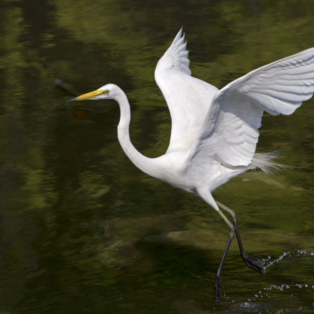"""Great Egret Splash Landing"" stock image"