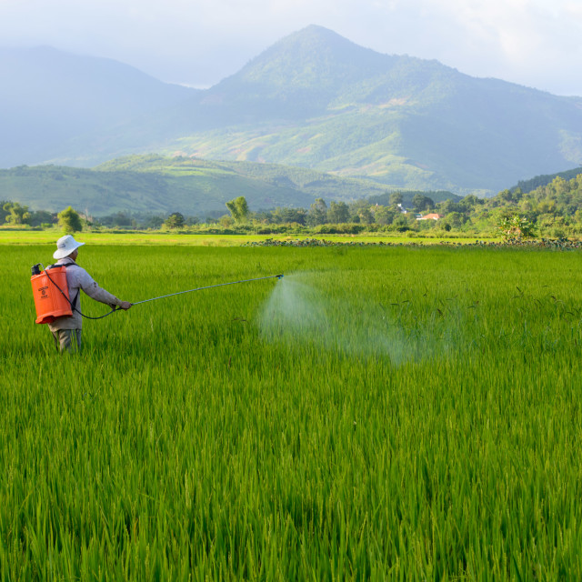 """Farmer spraying pesticide in the rice field"" stock image"
