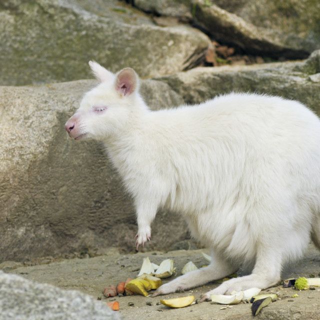 """albino bennetts wallaby"" stock image"