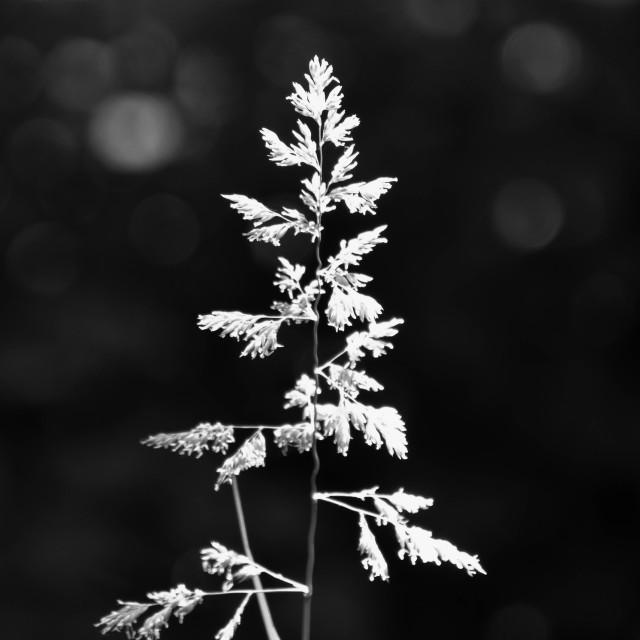 """Grasses"" stock image"