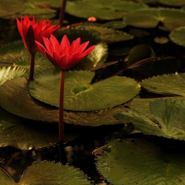 """""""Water lily in morning light"""" stock image"""