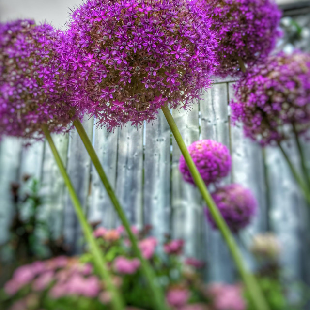 """alliums"" stock image"