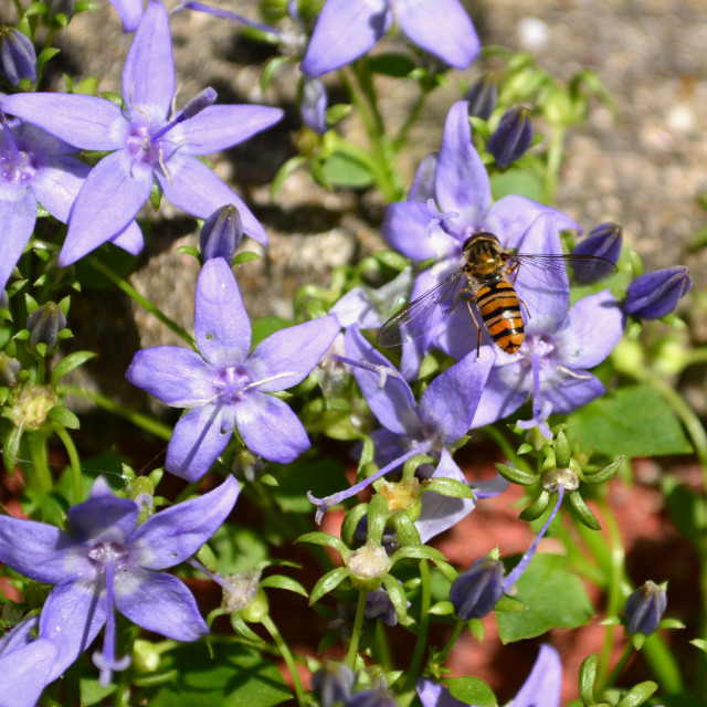 """""""Hover Fly on Alpine Flower"""" stock image"""