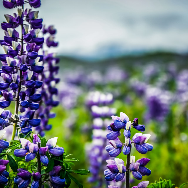 """iceland flower"" stock image"