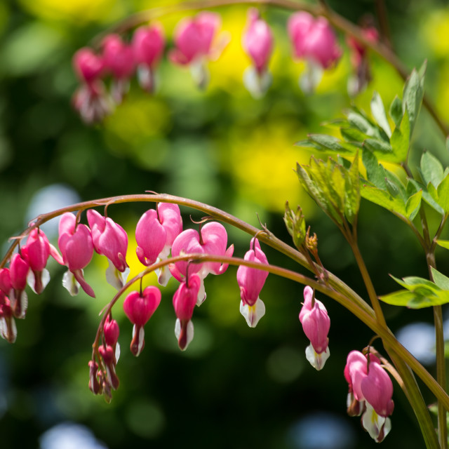 """Bleeding Heart Flowers"" stock image"