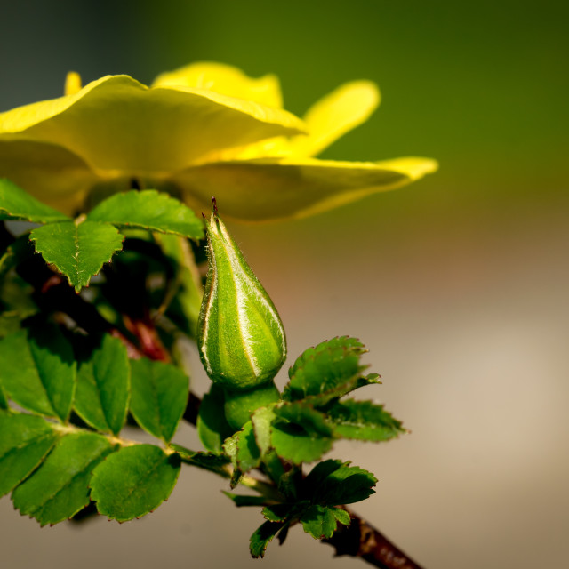 """""""Yellow rose and closed bud"""" stock image"""