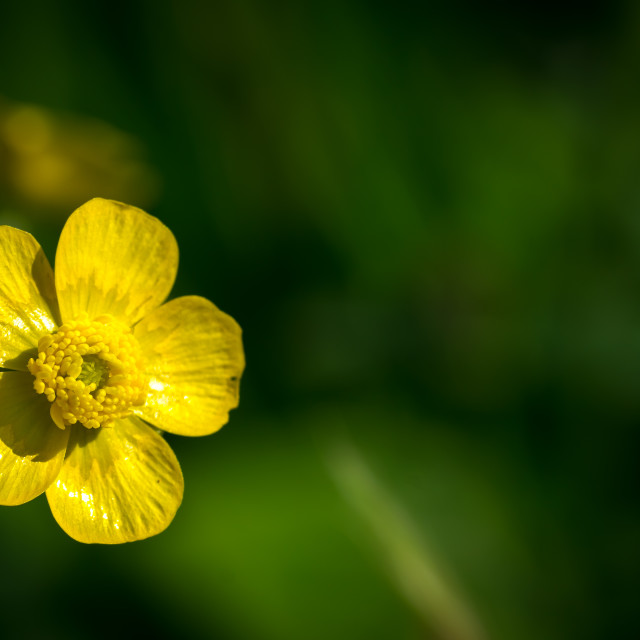 """Common buttercup flower (Ranunculus acris)"" stock image"