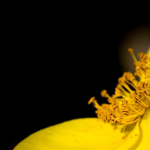 """Macro of yellow flower stamens"" stock image"