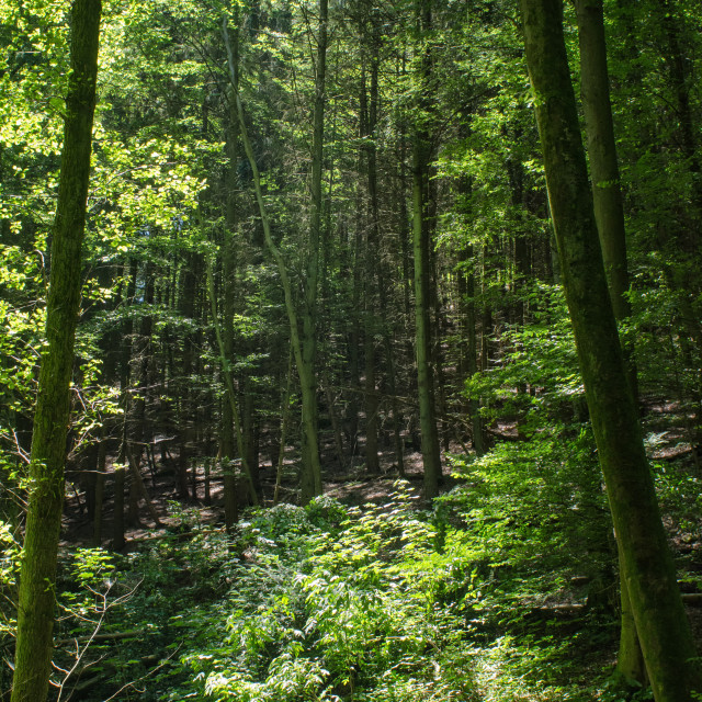 """""""Forest Atmosphere"""" stock image"""