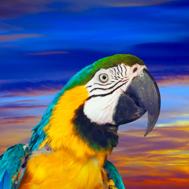 """""""Closeup of macaw against sunset sky"""" stock image"""