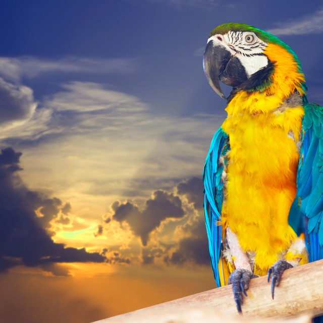 """""""Green-winged macaw against sunset"""" stock image"""