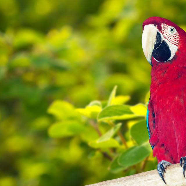 """Macaw papagay at nature background"" stock image"