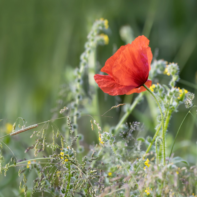 """Single Wild Poppy"" stock image"