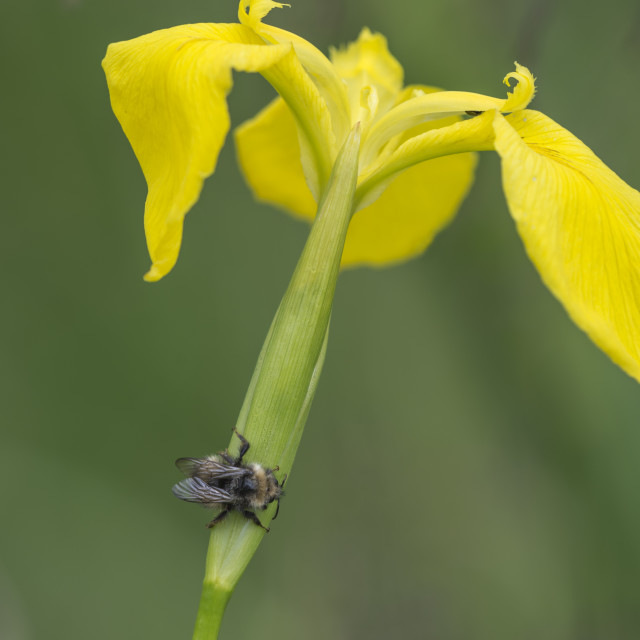 """Yellow Iris with Wild Bee"" stock image"