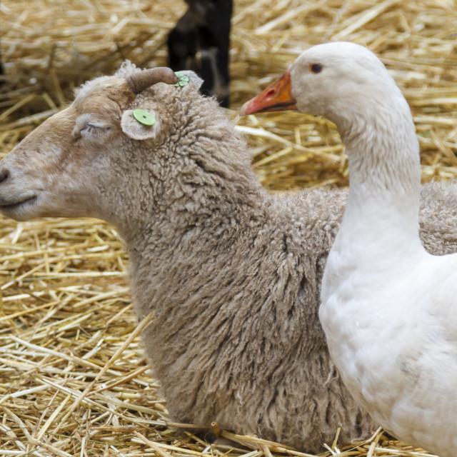 """""""Resting at nimal farm"""" stock image"""