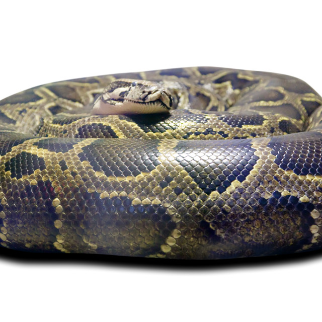 """""""Python molurus. Isolated over white"""" stock image"""