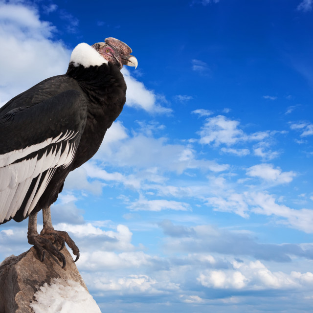 """Andean condor against sky"" stock image"