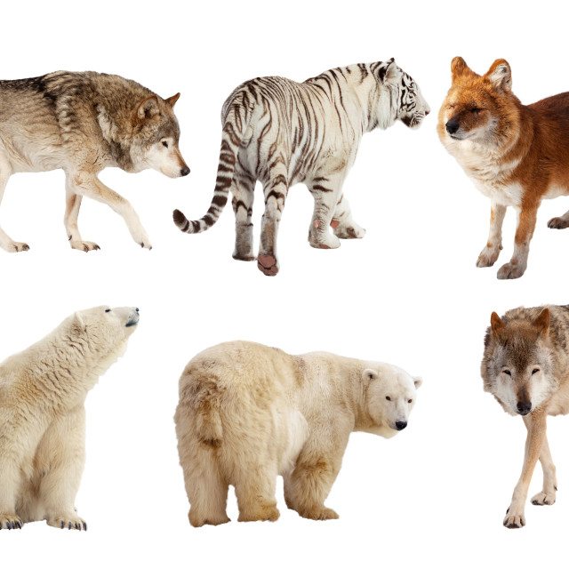 """Set of Carnivora mammal over white"" stock image"