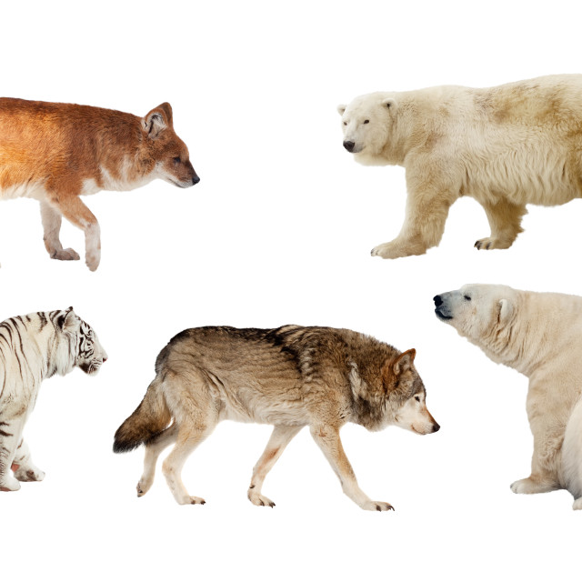 """Carnivora mammal. Isolated over white"" stock image"