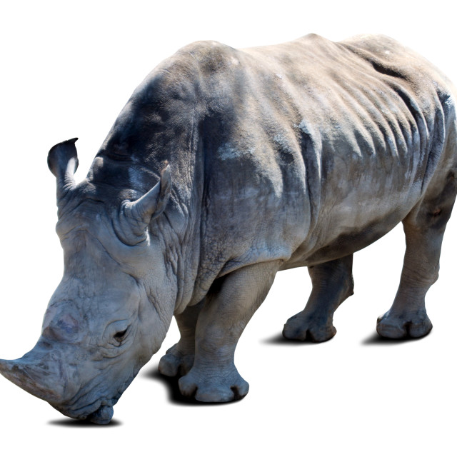"""rhinoceros over white with shade"" stock image"