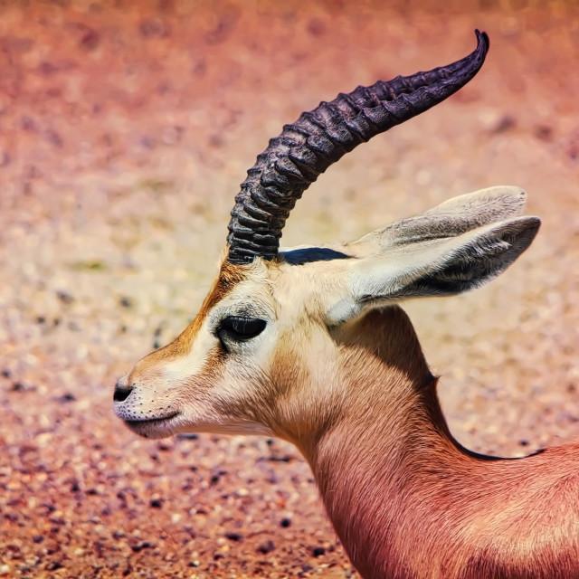 """""""Antelope"""" stock image"""