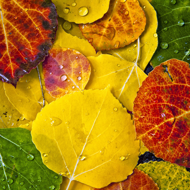 """Fall Color of Aspen Tree Leaves"" stock image"