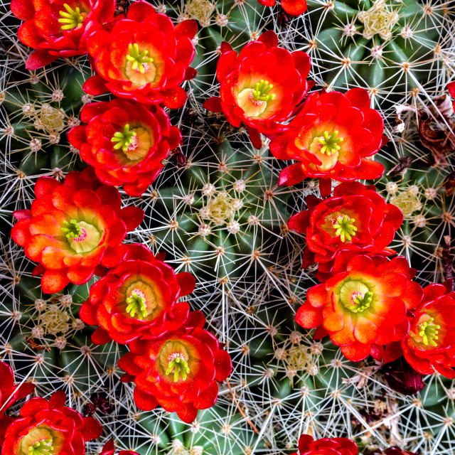 """Large blooming barrel cactus with thorns and bright red flowers"" stock image"