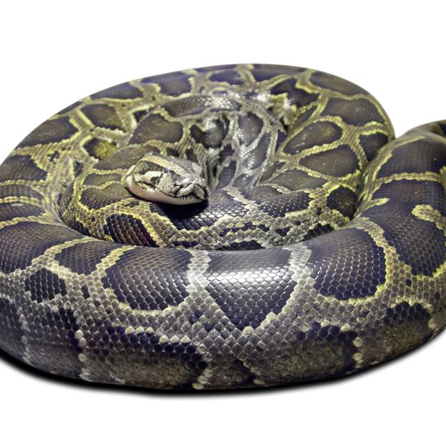 """""""Python molurus on white"""" stock image"""