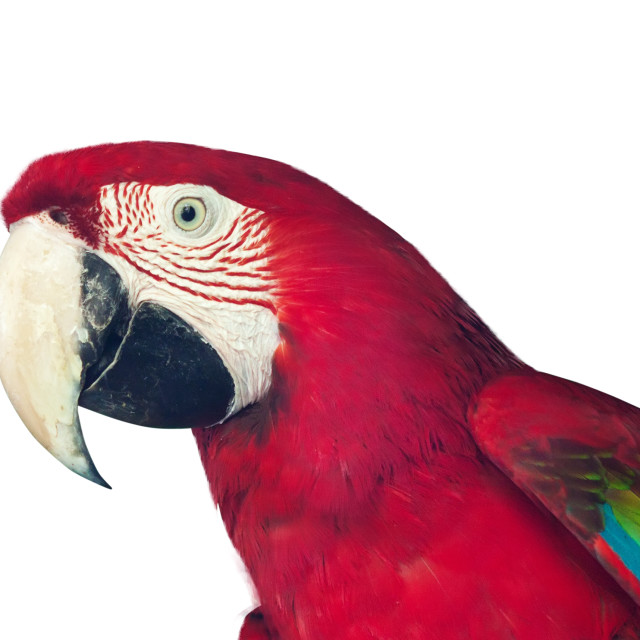 """""""red macaw papagay"""" stock image"""