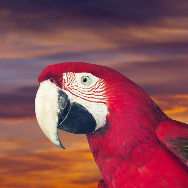 """""""Head of red macaw papagay"""" stock image"""