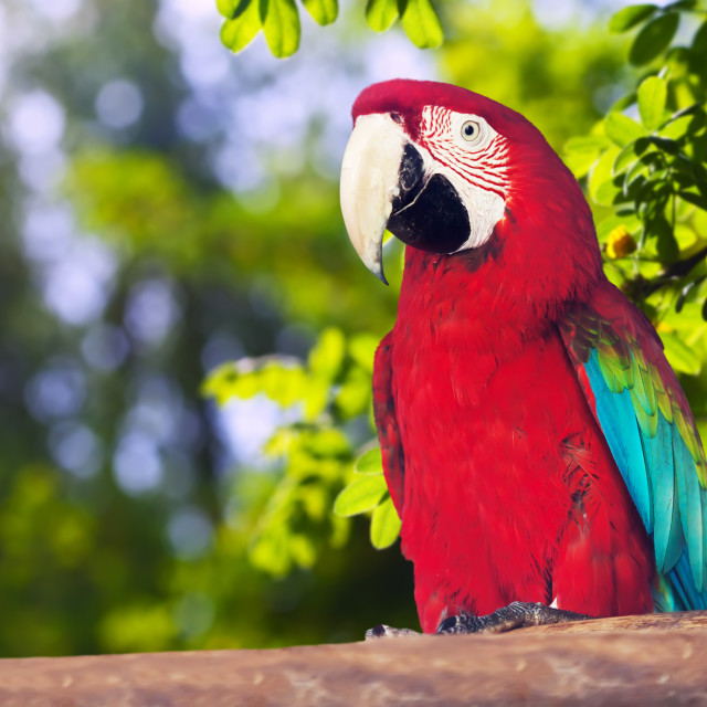 """""""Portrait of Red-and-green Macaw"""" stock image"""