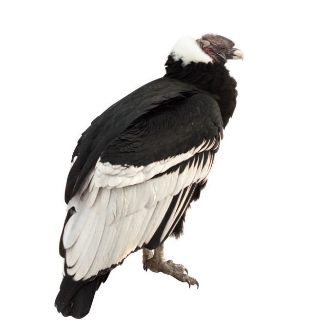 """Andean condor. Isolated over white"" stock image"