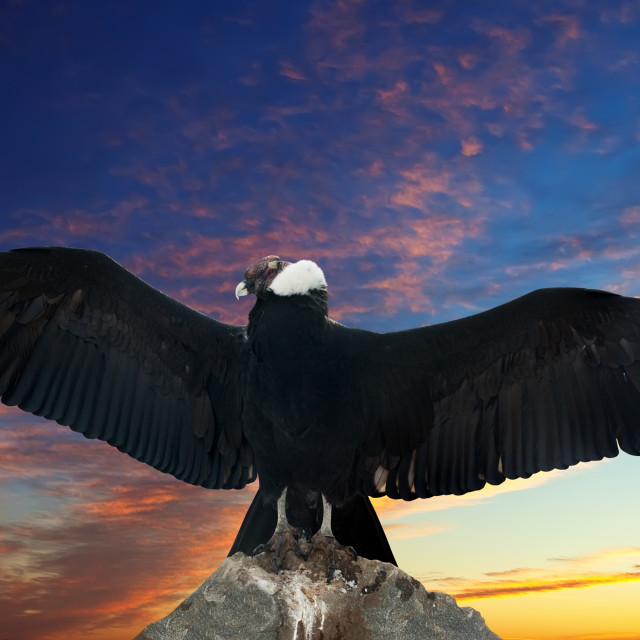 """Andean condor against sunset sky"" stock image"