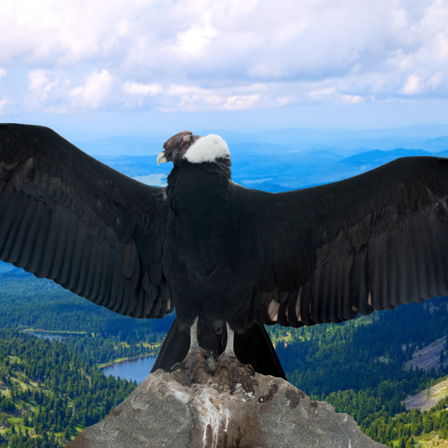 """Andean condor in wildness"" stock image"