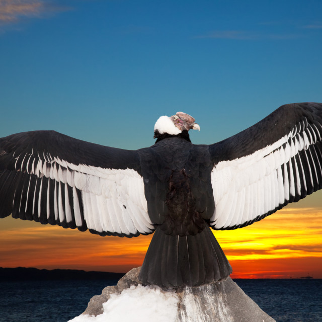 """Andean condor against sunset sky background"" stock image"