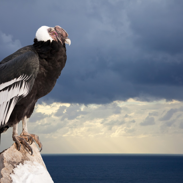 """Andean condor sitting on rock"" stock image"
