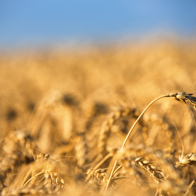 """""""Golden wheat field and sunny day"""" stock image"""
