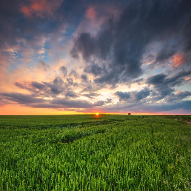 """""""Green wheat field, sunset shot"""" stock image"""