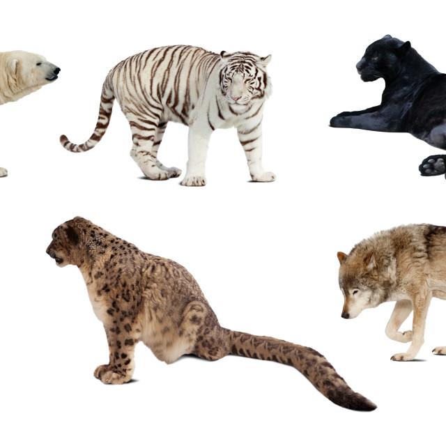 """Set of Carnivora mammal. Isolated over white"" stock image"