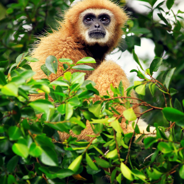 """Gibbon"" stock image"